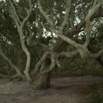 Tree at Springer's Point On Ocracoke Island - 2014