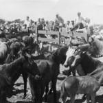 Pony roundup - circa 1950s