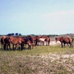 Ocracoke Ponies - early 1960's
