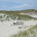 Driftwood In The Dunes Near The North Point Of Ocracoke Island